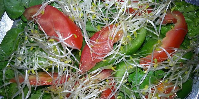Brotes frescos de alfalfa en ensalda