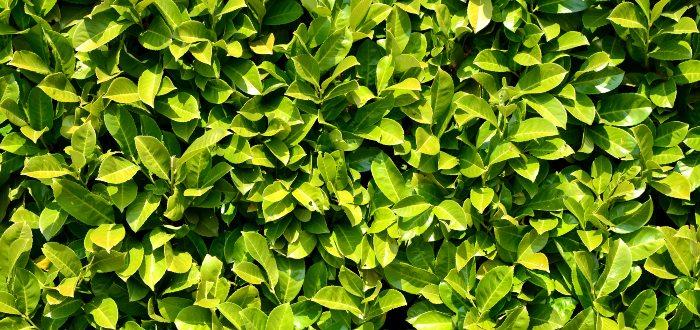 Beneficios del laurel- Variedades del laurel